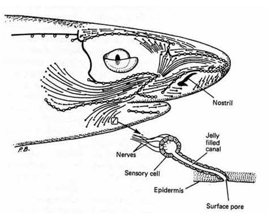 Sensory systems electroreception diagram to illustrate the surface area of the head of a squaloid shark ccuart Gallery