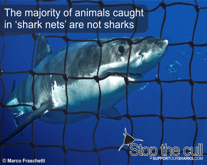 The key reason why does indeed WA's shark cull issue overseas?
