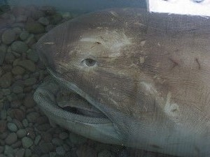 feeding behaviour of the megamouth shark